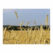 Ostrość, głębia, kadr i cyk fotka już jest !!! obraz pola