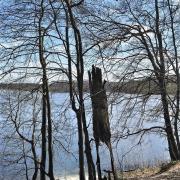 """Bez wątpienia """"prasłowiańskie"""" drzewo na jeziorem w Otominie"""